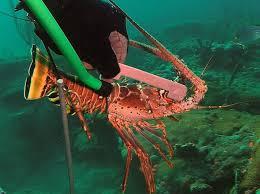 Florida Spiny Lobster Season